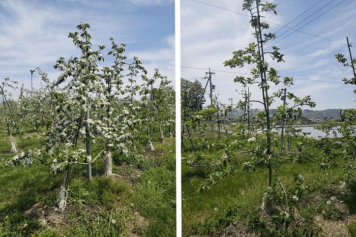 フロストバスターを散布したリンゴの樹としていない樹の着花状況比較