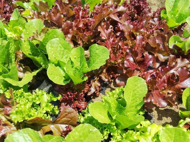 レタスなどの葉物野菜