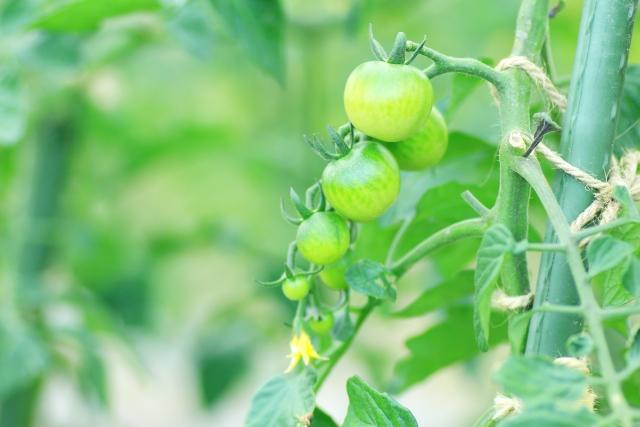 支柱で育つミニトマト