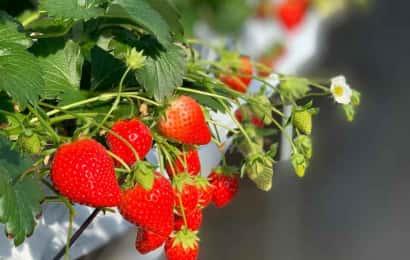 しずの苺園のいちご