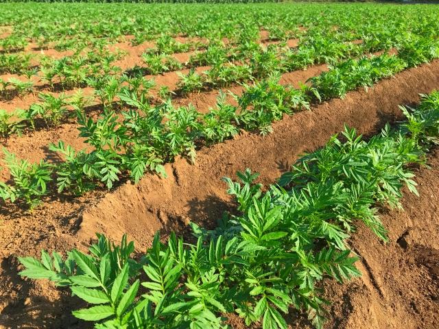 高畝で育つ野菜