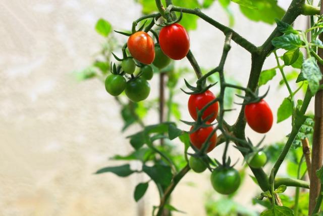 ミニトマトを栽培する