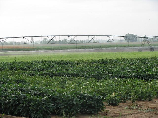 圃場で大規模栽培されているエダマメ