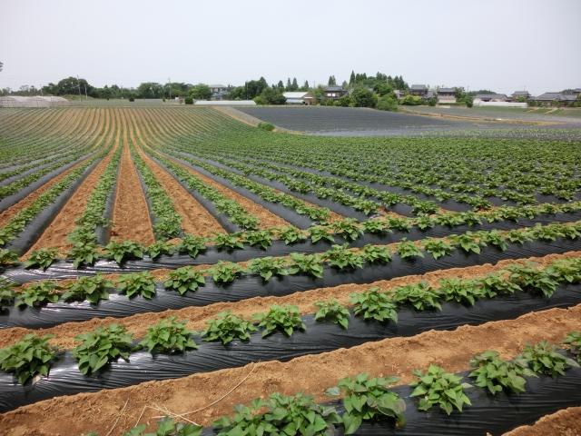 サツマイモ、栽培