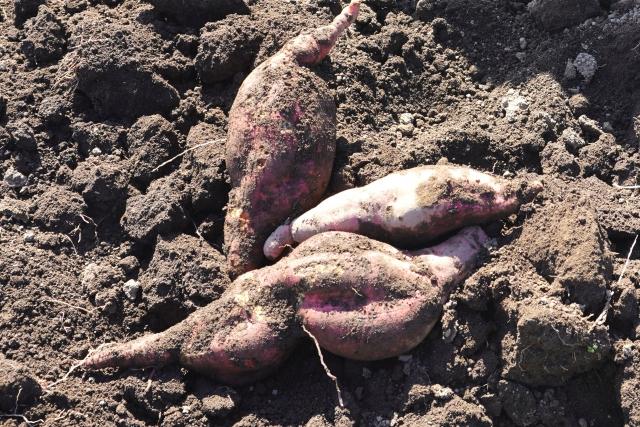 サツマイモ、生理障害、裂開