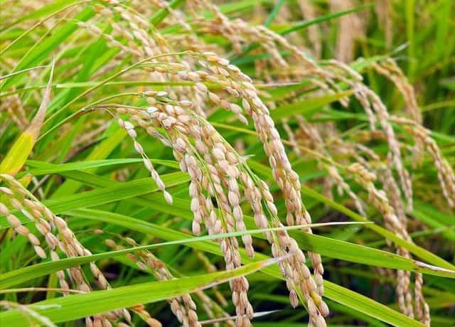 米作り、稲