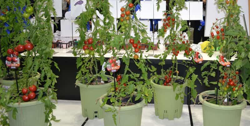 複数のトマトの鉢植え