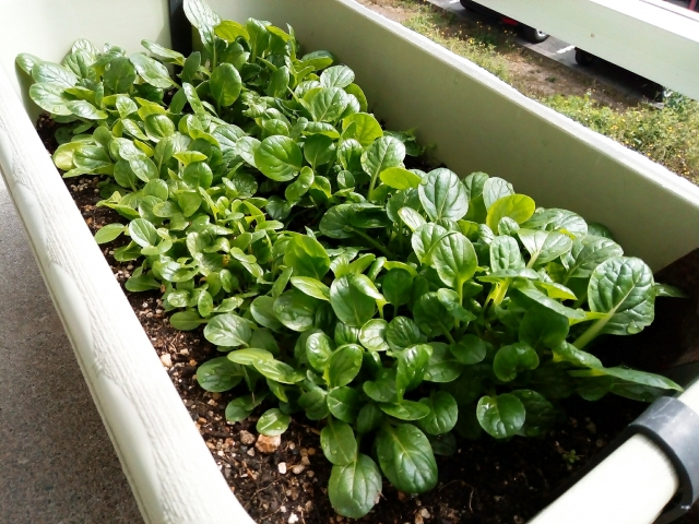 プランターで育つ小松菜
