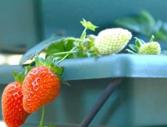 プランターで育つイチゴ