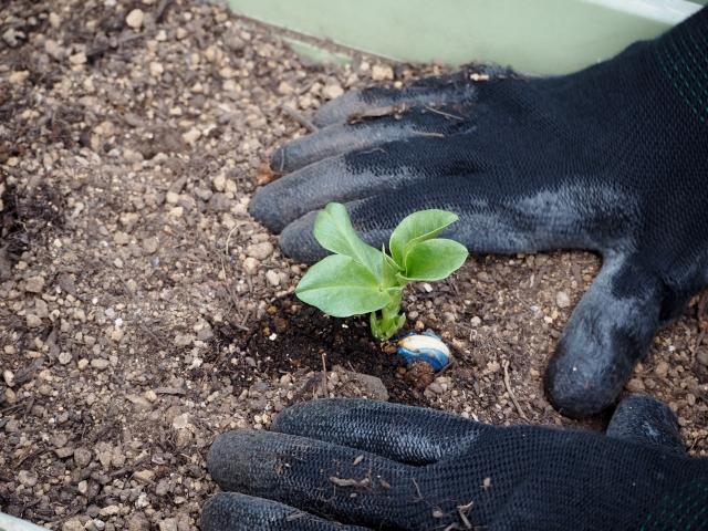 プランターに苗を植える
