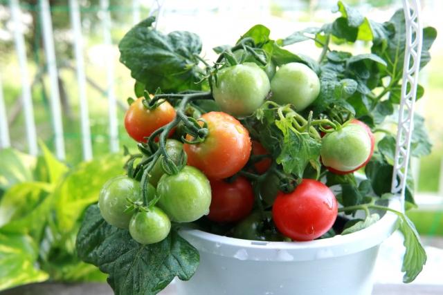 プランターに実るミニトマト
