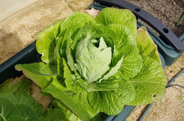 プランターで白菜を栽培