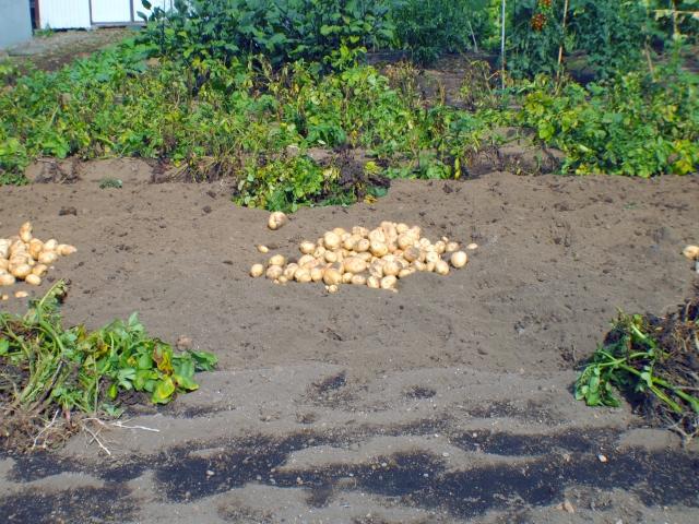 ジャガイモの保管