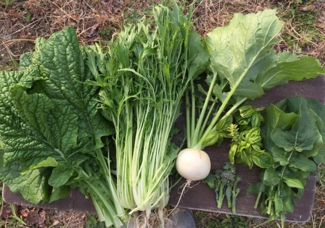 青菜、株、ブロッコリーの収穫