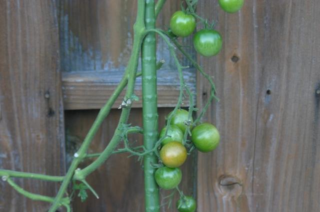 支柱に絡んだミニトマト