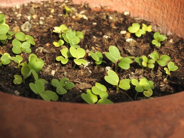 プランターの土から出た芽