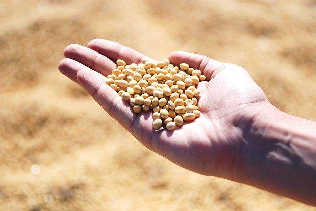 掌にのせられた大豆