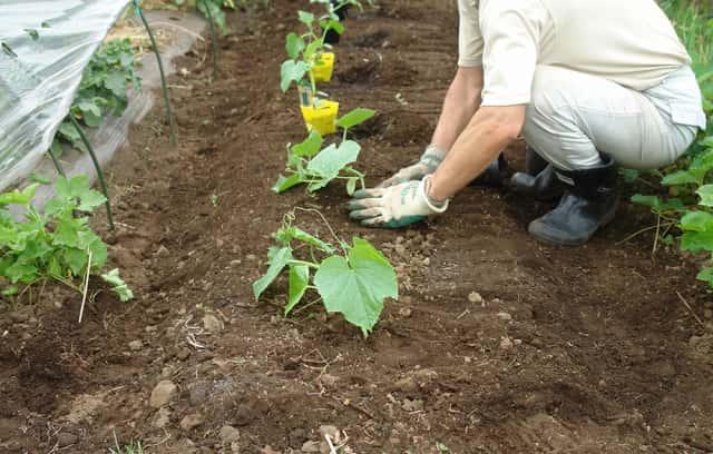 苗を植えている福田先生