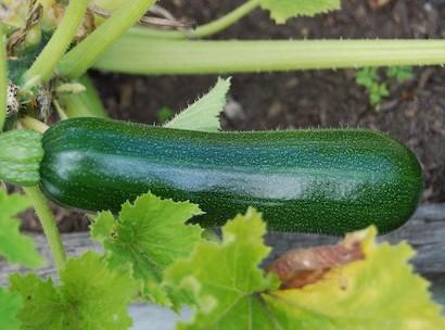 ズッキーニ、品種、緑色、円筒形