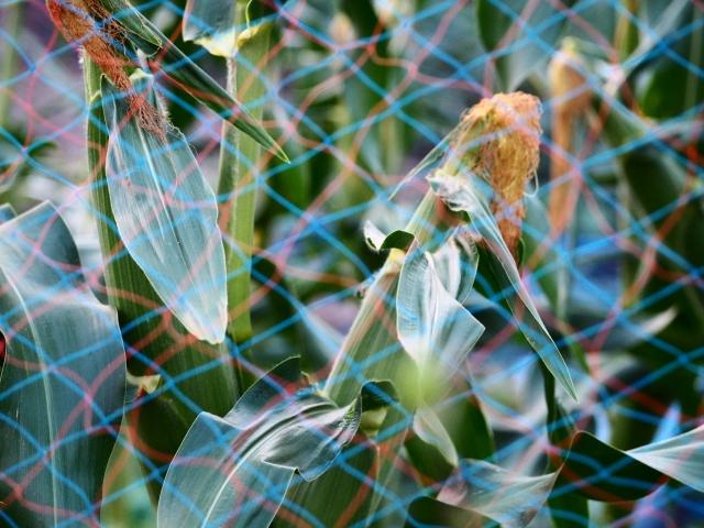 トウモロコシ 、防鳥ネット