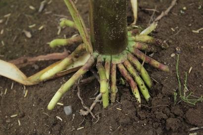 トウモロコシ 、根