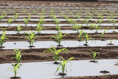 トウモロコシ 、栽培