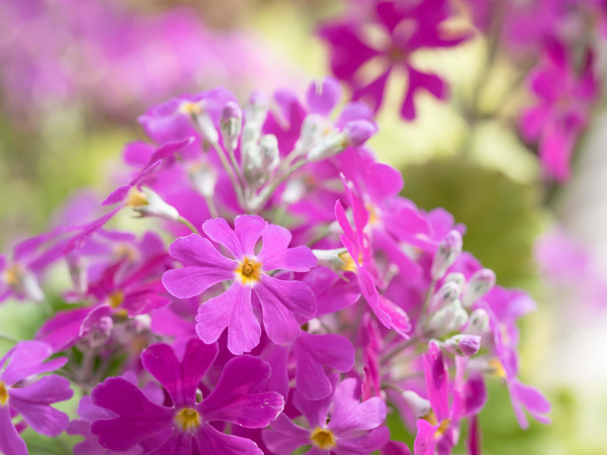 紫色のプリムラ