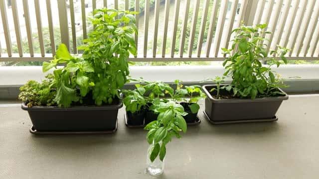 ベランダのプランター栽培