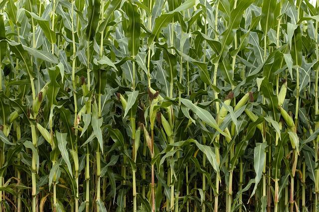 トウモロコシ 、収穫
