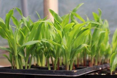 トウモロコシ 、育苗