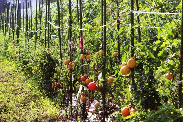 支柱に絡まるトマトの枝と実