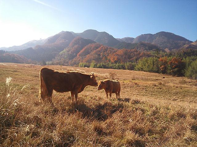 阿蘇の風景と牛2匹