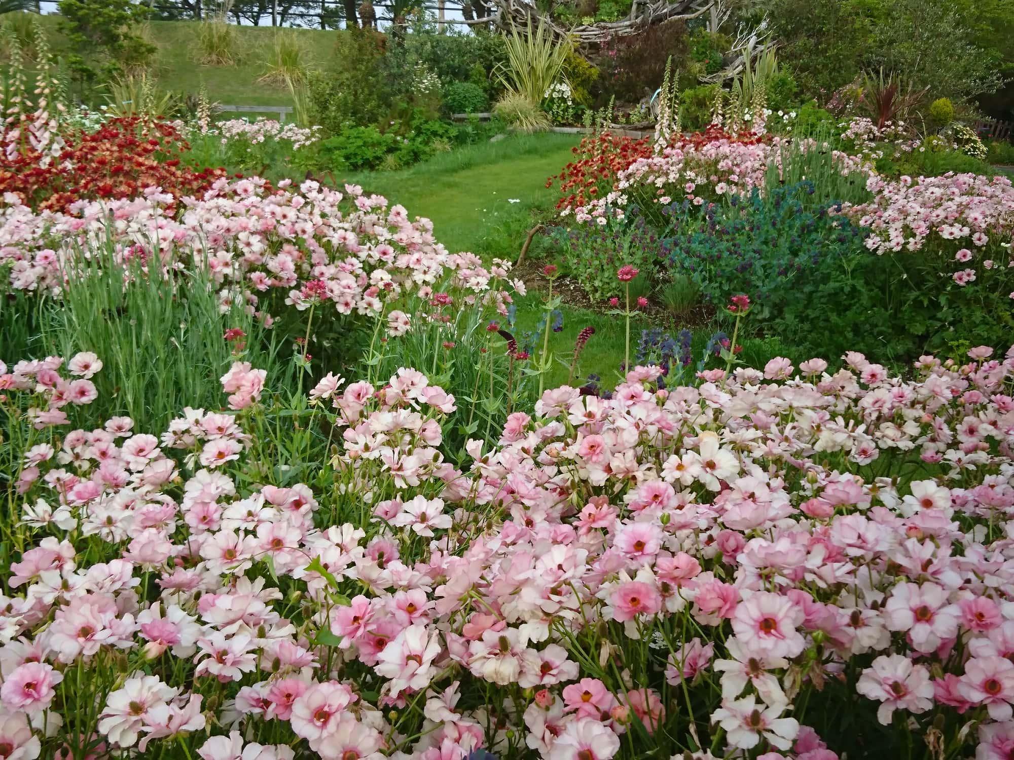 ラナンキュラスが咲く風景