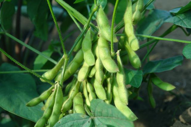 エダマメの収穫