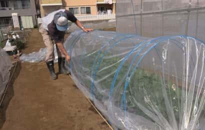 小松菜畑にビニールハウスをかけている様子