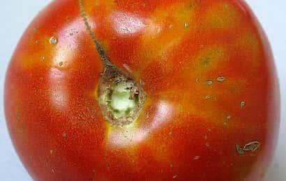 アザミウマに吸汁されたトマトの果実