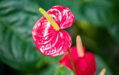 アンスリウムの赤い花
