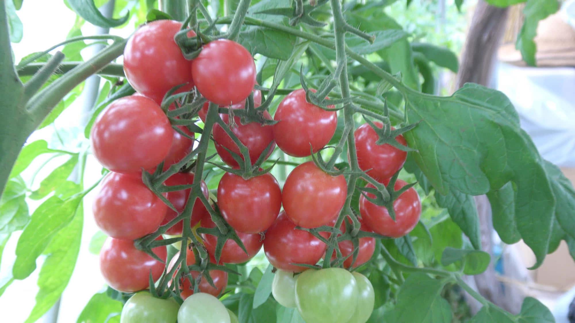 福田先生のトマト菜園