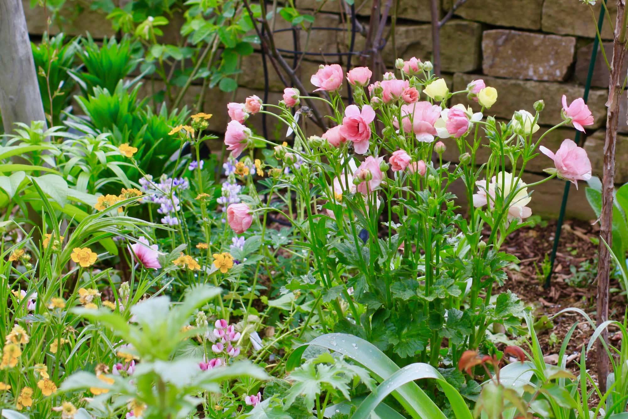 庭に咲くピンクのラナンキュラス