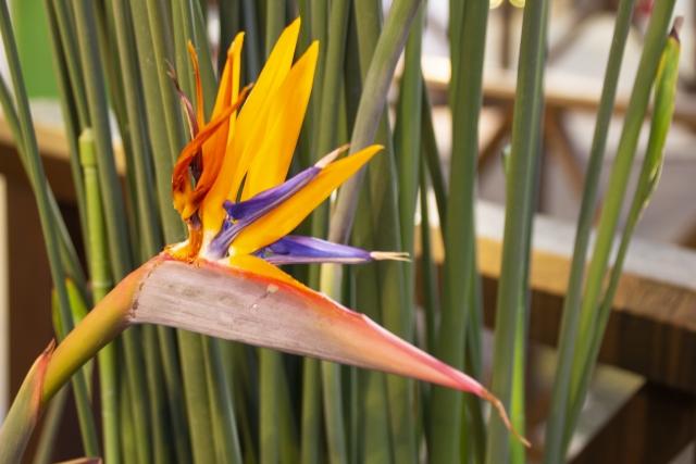ストレリチアの花