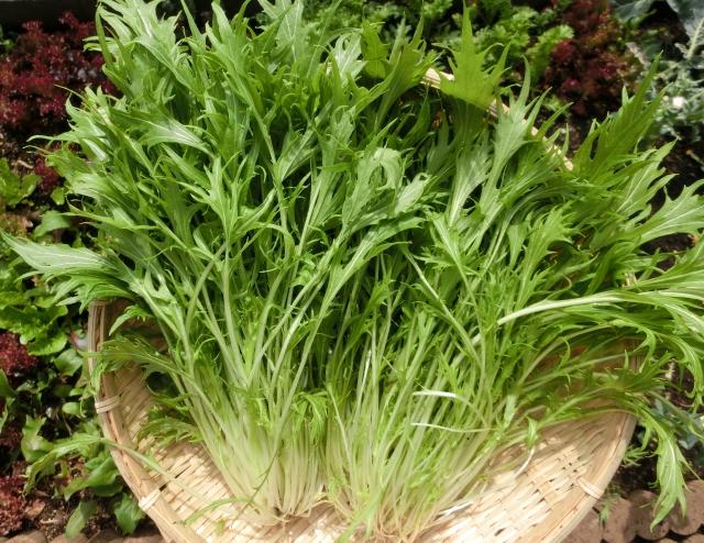 収穫された水菜