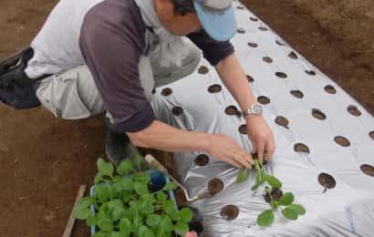 小松菜苗の植え付けの様子