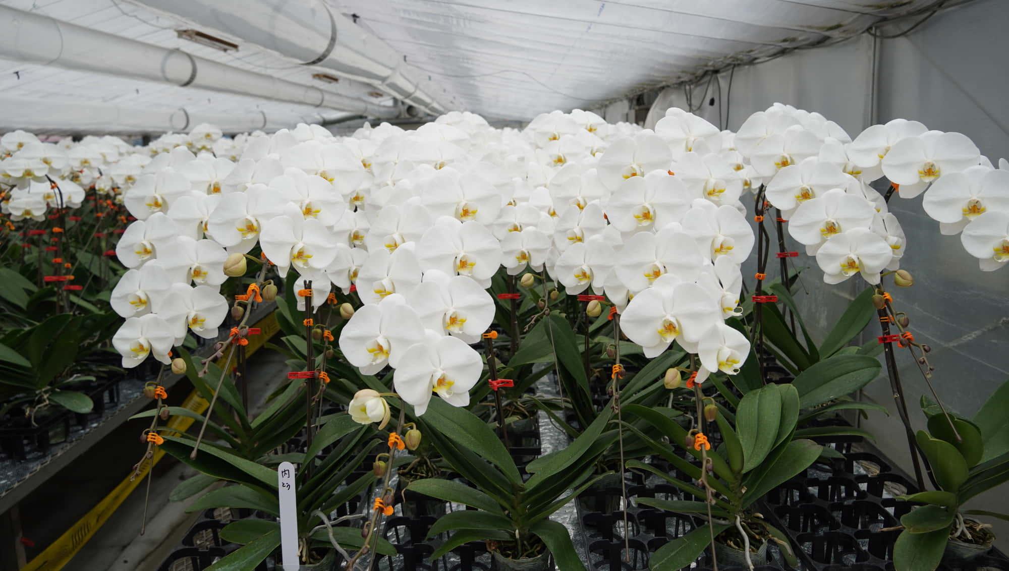 胡蝶蘭プレミアムホワイトの温室