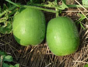 トウガン栽培