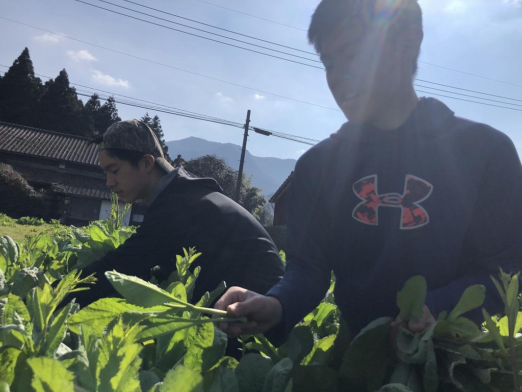 タカナを収穫する少年たち