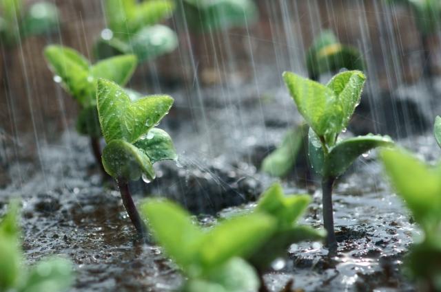 エダマメの新芽に水やりをする