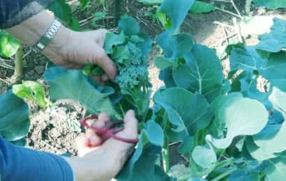 スティックブロッコリーの収穫