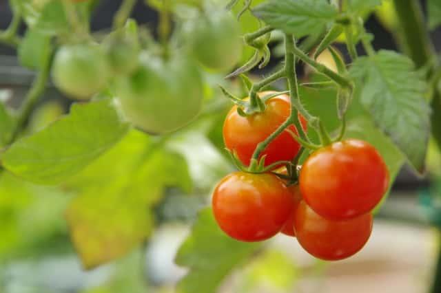 畑のミニトマト