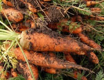 ニンジン、栽培、収穫、育て方