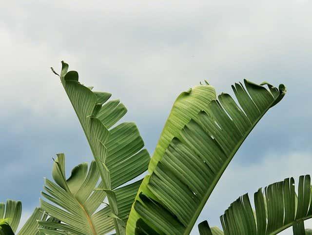 ストレリチアの葉